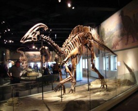 副栉龙 化石骨架